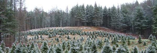 vermont christmas tree farm vermont hills - How To Start A Christmas Tree Farm