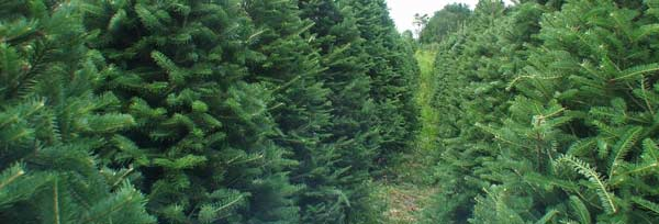 Vermont Christmas Tree Farm